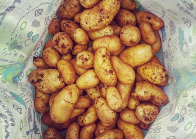Potatoes, gifted by our neighbour, from his field next to our renovated house for sale in Zrenj